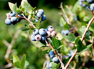 farmhouse blueberry bushes
